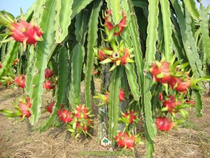 vietnam dragon fruit suppliers