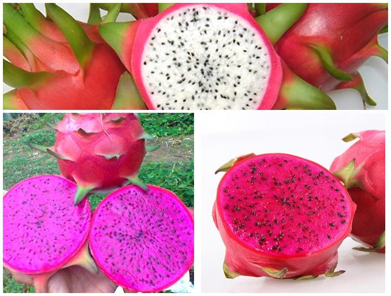 dragon fruit suppliers